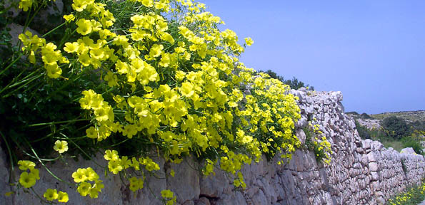 Winter's crowning glory: the Cape Sorrel in Malta