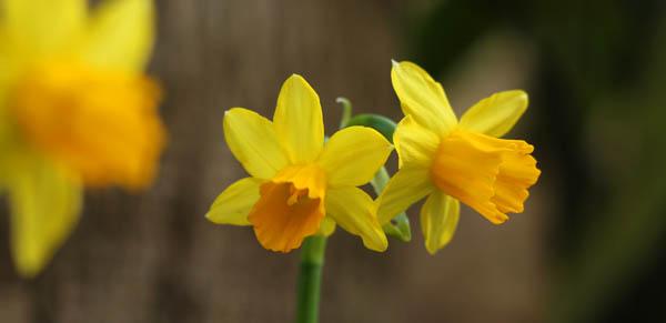 Narcissus in a Malta garden