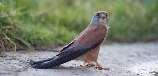 Kestrel injured in Malta