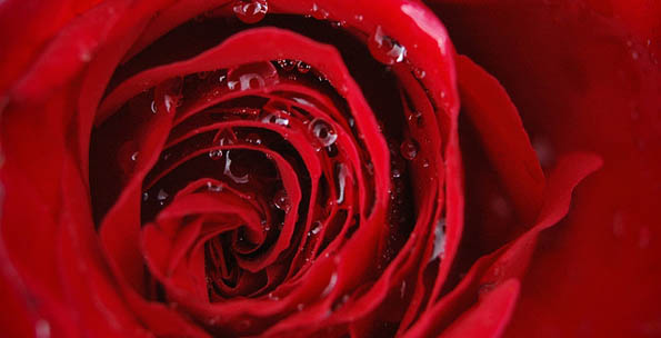 Roses love our climate, but we seem to love them only on 14 February