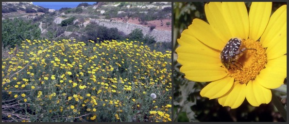 Malta's golden spring flowers that herald the coming of summer