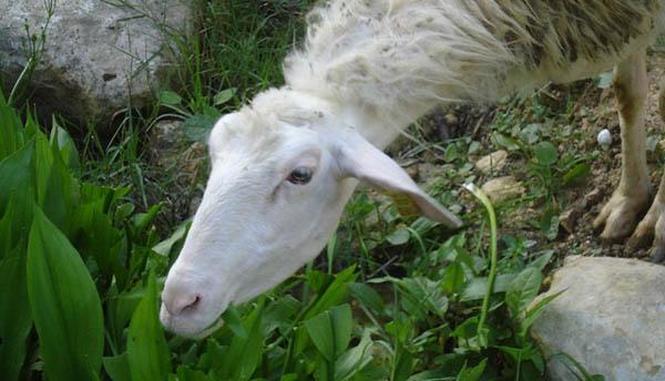 Maltese sheep. Photo: Leslie Vella