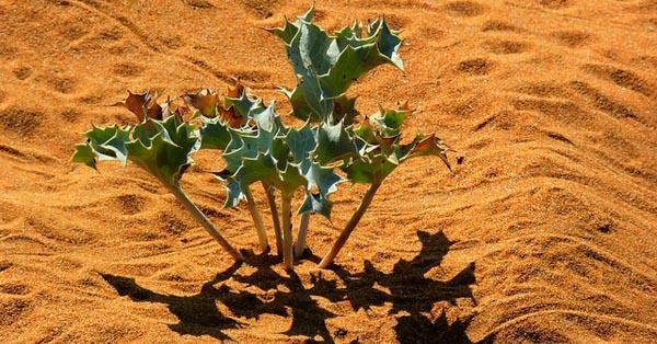 Sea Holly on Malta's Sand Dunes: by Leslie Vella